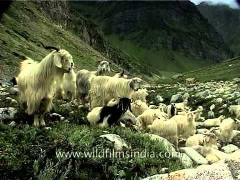 Herd of Pashmina goats in high altitude Himalayan meadow