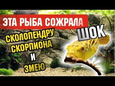 "ШОК! Хищная рыба ""Тетрадон"" Рыба ест скорпиона, сколопендру, змею:  Сколопендра против рыбы"