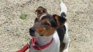 Jingle - Jack Russell Puppy - 7 Week Residential Dog Training At Adolescent Dogs