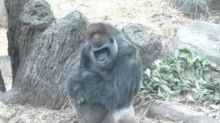 2012.01.02撮影 上野動物園のゴリラのムサシ君。 寒さが堪えるのか、...