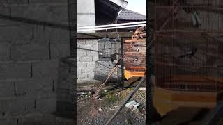 CARA MELATIH MENTAL BURUNG KACER DES 2018