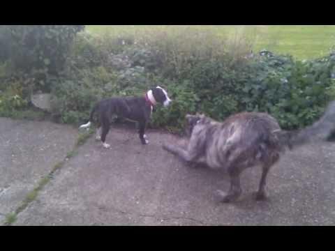 Staffordshire Bull Terrier vs Irish Wolfhound