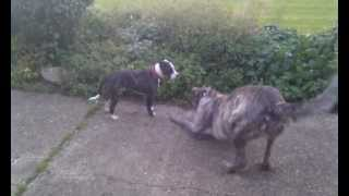 Staffordshire Bull Terrier Vs Irish Wolfhound