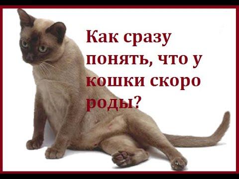 Как сразу понять, что у кошки скоро роды?