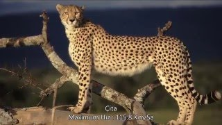 İnanılmaz Hızlı 10 Hayvan