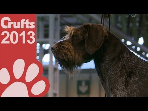 German Wirehaired Pointer - Best of Breed - Crufts 2013