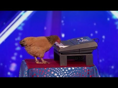Jokgu The Chicken Plays The Piano! SHOCKING! | Auditions | America's Got Talent 2017