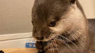 カワウソさくら 鼻ぴくぴくカワウソ  Otter that move their noses