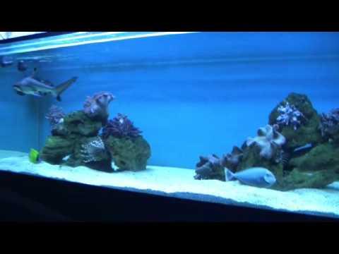 Black tip reef shark 02 youtube for Small sharks for fish tanks