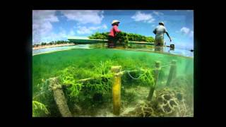 About Bali Culture - Seaweed Farming