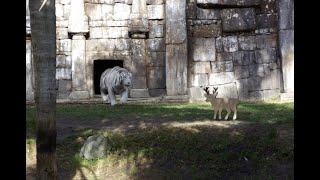 Feeding  white tiger @Guwahati zoo