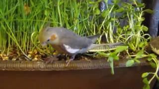 Зелень: полноценное питание попугая кореллы