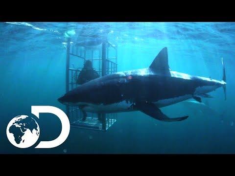 The Mango Taniwha | Lair Of The Mega Shark