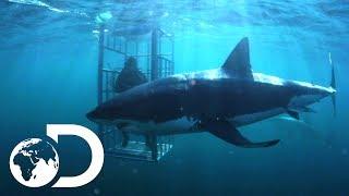 The Mango Taniwha Lair Of The Mega Shark