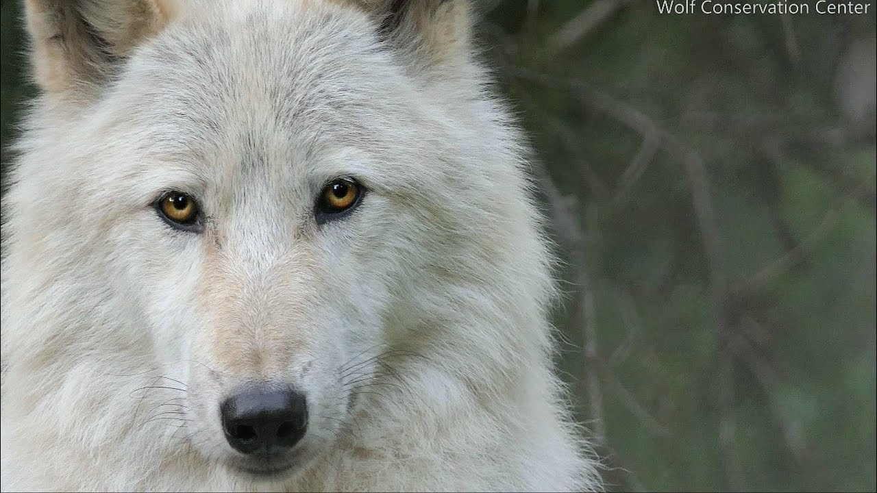 To look into the eyes of a wolf...