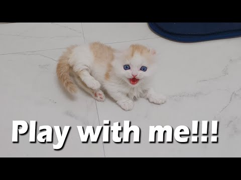 a Little Kitten Very Angry about Not Playing With Him