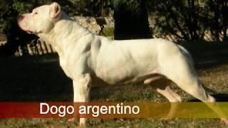 Dogo Argentino Vs American Staffordshire Terrier, ¿quien Ganaría En Una Hipotética Pelea?