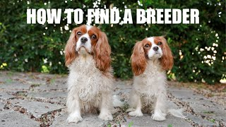 HOW TO FIND A CAVALIER KING CHARLES BREEDER