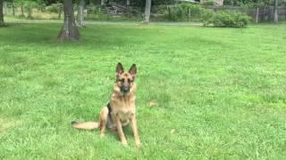 2-Year Old Reactive German Shepherd, Scottie!  German Shepherd Dog Training | Off Leash K9 Training
