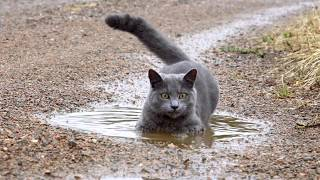 Russian Blue cat in a puddle