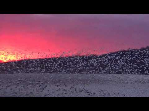 Cloud of Snow geese at Middle Creek Wildlife managment