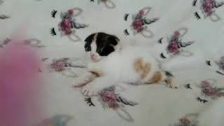 Scottish Fold kitten available to reserve