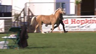 Ceffylau Palomino 4+ | Palomino Horses 4+