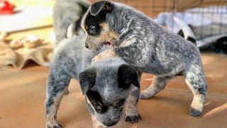 Australian Cattle Dog PuppiesBLUE HEELER PUPPIES PLAYING