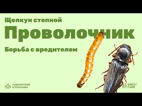 Борьба с вредителем Проволочником (личинка Щелкуна степного)