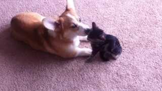Corgi Kitten Grooming Each Other