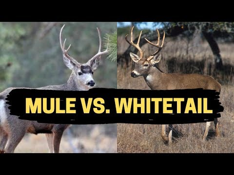 MULE DEER VS. WHITETAIL DEER | Where To Find & How to Hunt
