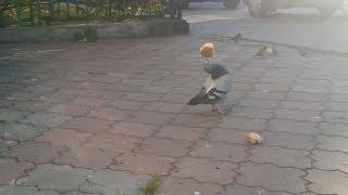 Dove acrobat - Gołąb akrobata / funny animals funny birds - śmieszne zwierzęta śmieszne ptaki