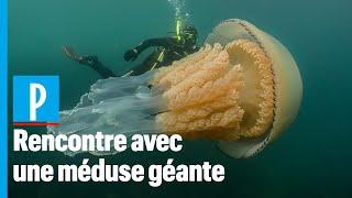Angleterre : ils nagent avec une méduse... de leur taille