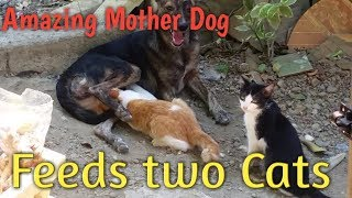Amazing Mother Dog   Breast Feeding Two Cats