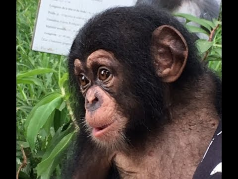 Ivory Coast jail sentences for chimpanzee traffickers