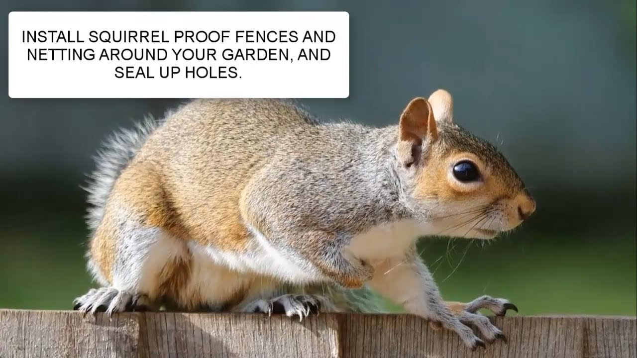 keep from channel squirrels your to how garden rid of related in repel get humane gardening ways away