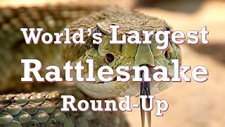 Worlds Largest Rattlesnake Round-Up (Sweetwater, Texas)