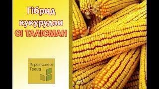 Кукуруза СИ Талисман в  Украине
