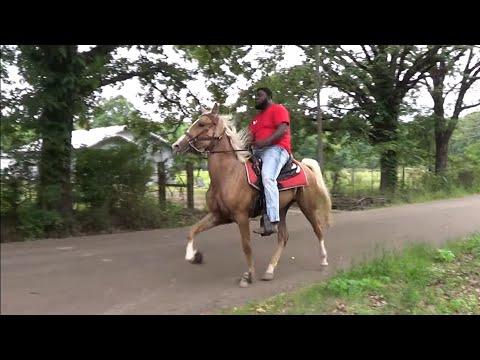 2021 Hooks Texas Tennessee Walking Horse Shootout Trail Ride