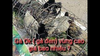 DTVN - Tìm thấy gà ok ( gà đen) miền núi cho các bác sắm tết đây