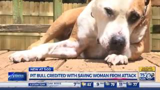 Stray Pit Bull Named Hero Was Stabbed 5 Times While Saving A Woman From Knife Weilding Man