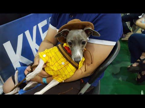 이탈리안그레이하운드 강아지모델 애견패션쇼 데뷔 Italian Greyhound in KKF Dog fashion Show