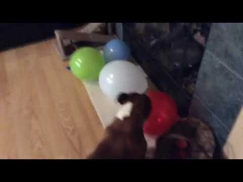 Staffordshire Bull Terrier Balloon Killers