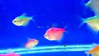 Аквариумная рыба - Тернеция карамелька разноцветная. Аквариумистика