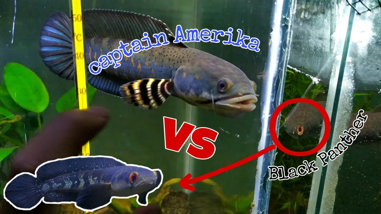 Channa Pulchra Vs Channa Marulius Youtube