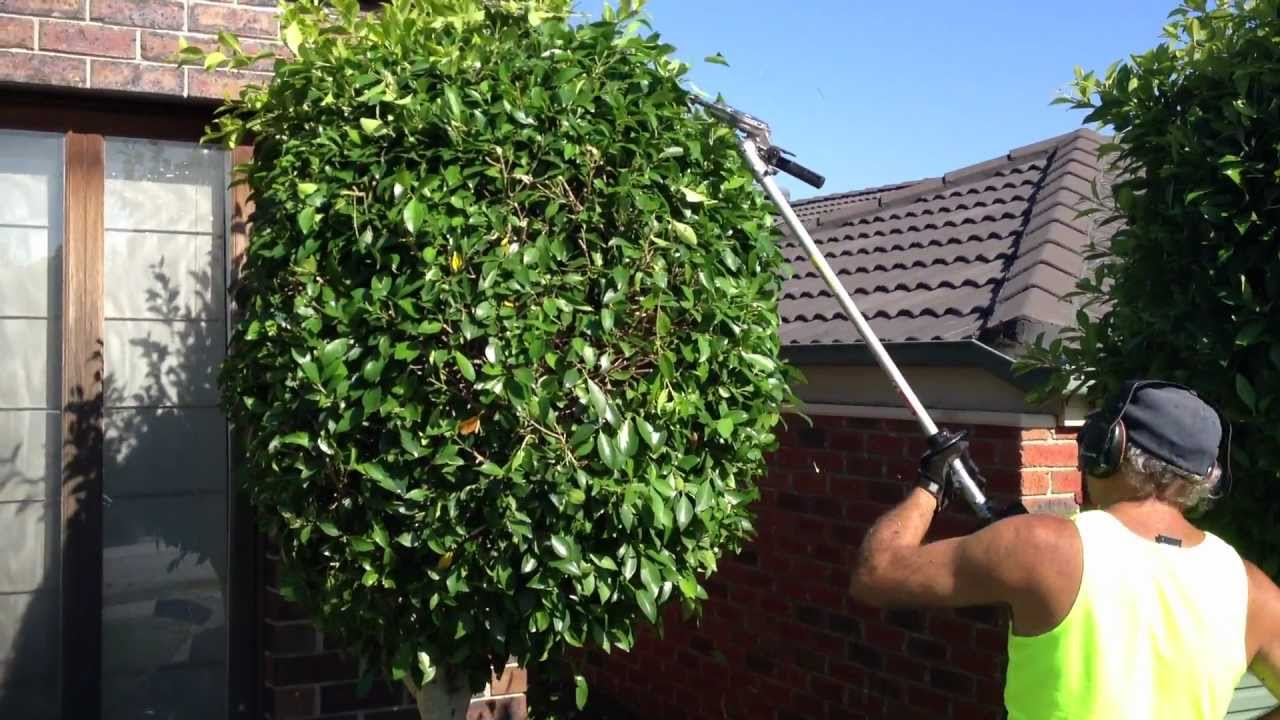 Hedge T Making Them Round Gardening Master Is Showing You How To