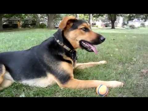 German Shepherd Lab Mix Loves Playing Fetch