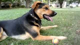 German Shepherd Lab Mix Loves Playing Fetch