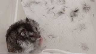 Severe Allergy In A Dwarf Hamster - Part 3