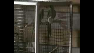Брачные игры кольчатых (ожереловых) попугаев